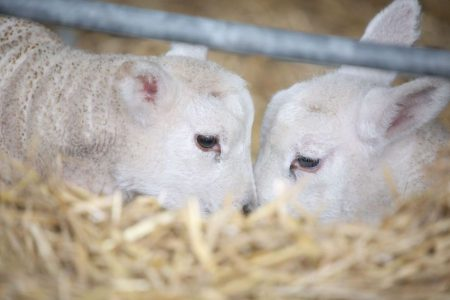 Two lambs at Cannon Hall farm