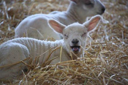 Lamb bleating at Cannon Hall Farm