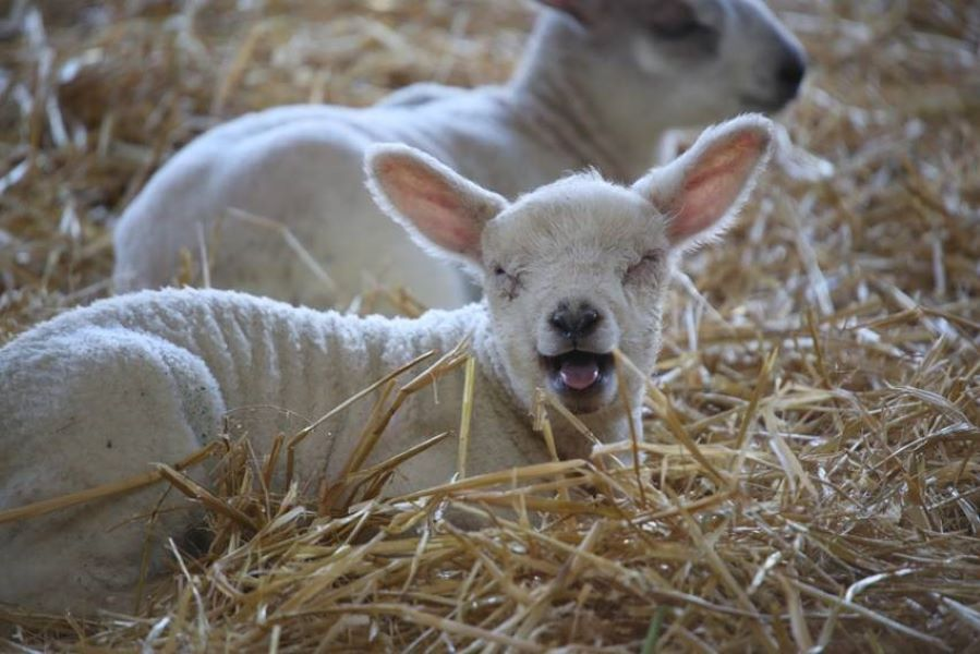 Lamb bleating at Cannon Hall Farm
