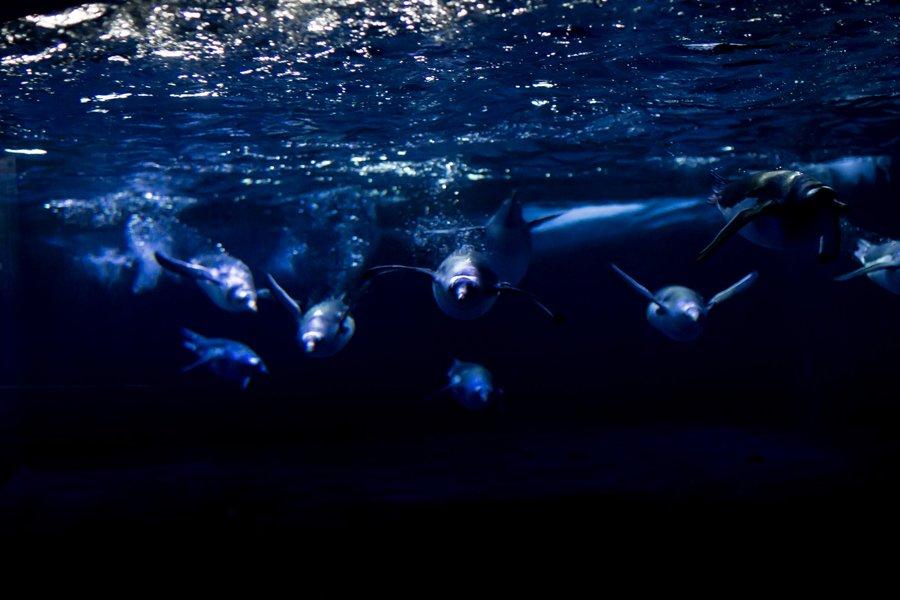 Gentoo Penguins The Deep