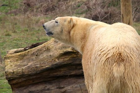 Rasputin the Polar Bear at Yorkshire Wildlife Park