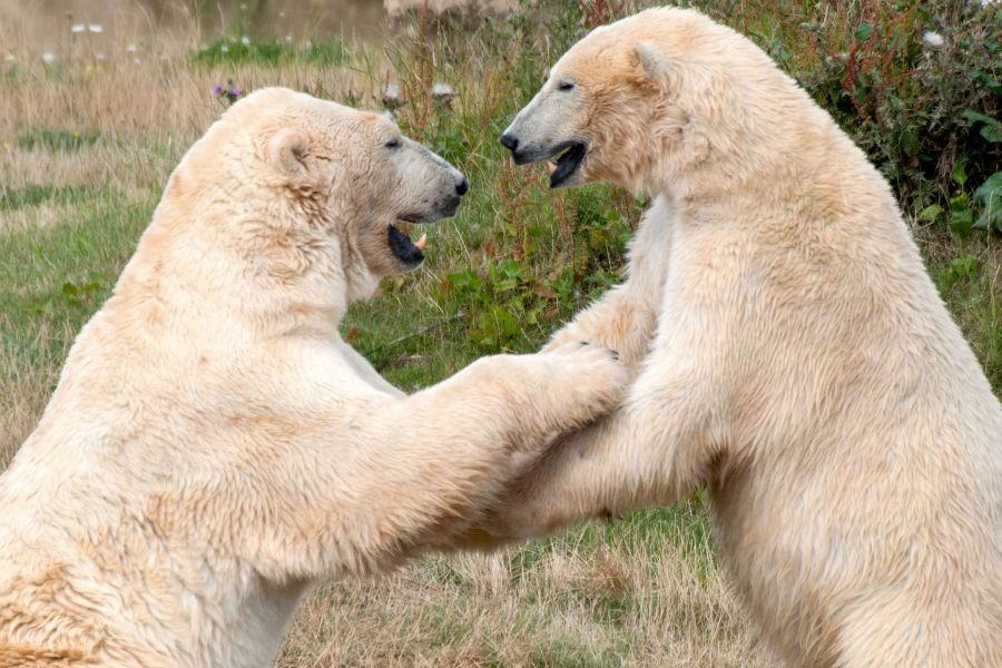 Polar Bears Playing at Yorkshire Wildlife Park
