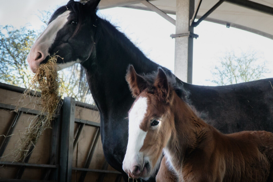 Shire horse and foal at Cannon Hall Farm