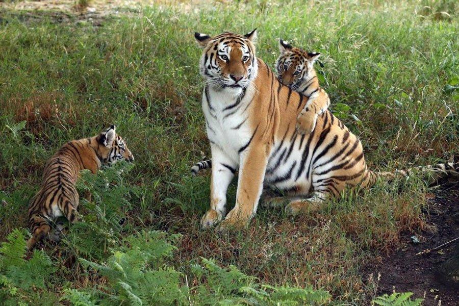 Amur Tiger Cubs at Yorkshire Wildlife Park