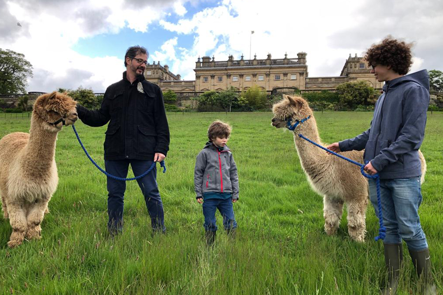 Alpaca Walking at Harewood House