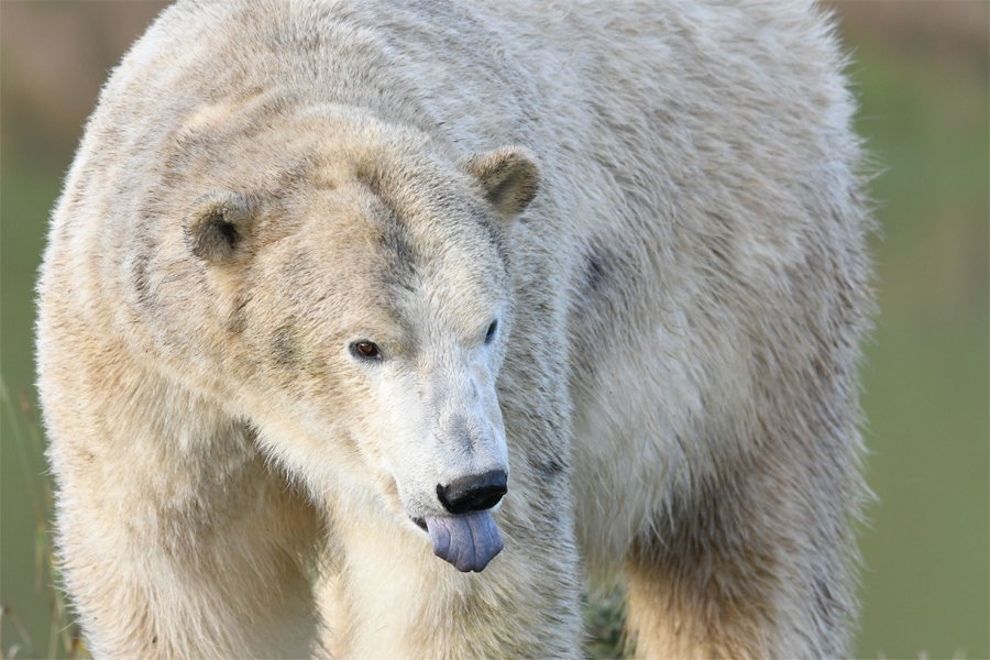 Polar Bear - Virtual 30k
